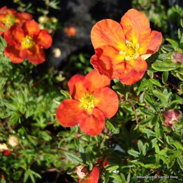 potentilla-fruticosa-red-ace-.jpg