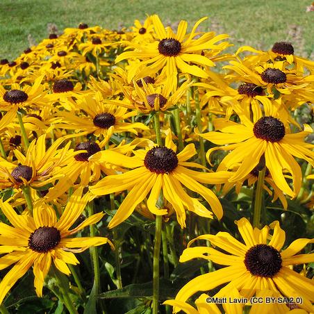 rudbeckia-sundance-matt-lavin-cc-by-sa-2.0-.jpg