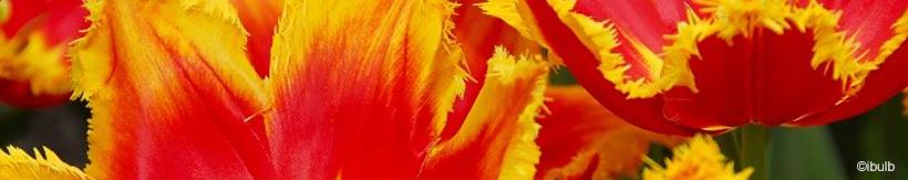 tulip-fringed-banner.jpg