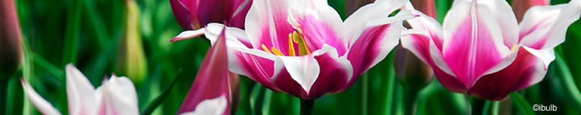 tulip-lily-flowering-banner.jpg