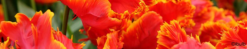 tulip-parrot-banner.jpg
