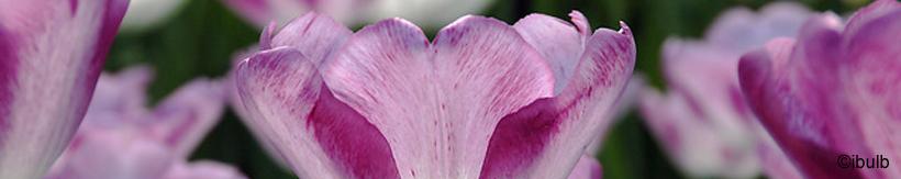 tulip-single-late-banner.jpg