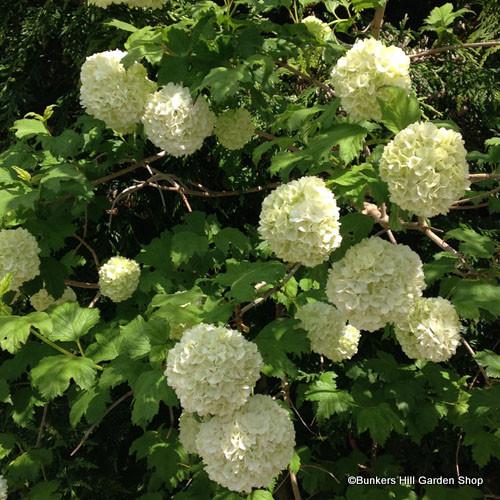 viburnum-opulus.jpg
