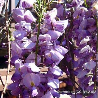 wisteria-sinensis-briweldon-cc-by-2.0-2.jpg