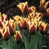 Tulip 'Gavota' - 12, 100 or 250 Bulbs