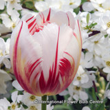 Tulip Happy Generation