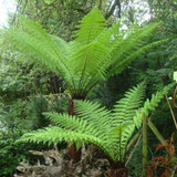6ft Premium Tree Fern - Dicksonia antarctica