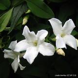 Jasminium officinalis