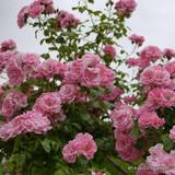 Bantry Bay - Climbing Rose