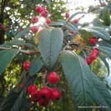 Cotoneaster Cornubia