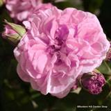 Rose Fantin Latour