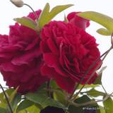Tess of the D'Urbervilles - David Austin English Climbing Rose