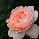 Queen of Sweden - David Austin English Musk Rose