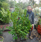 Rootballed Cherry Laurel 5ft