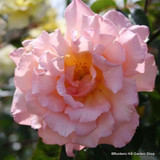 Compassion - Climbing Rose