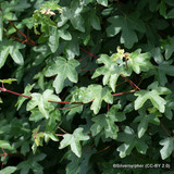 25 x Acer campestre (Field Maple) 60-90cm bare root