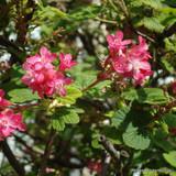 Ribes sanguinium - Flowering Currant