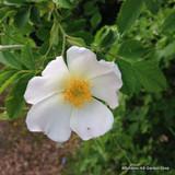 25 x Rosa rugosa 'Alba' (White Hedgehog Rose) 40-60cm bare root