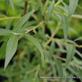 Salix alba 'Vitellina' - Golden Willow