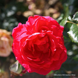 Crimson Showers - Climbing Rose