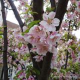 Prunus 'Spire'