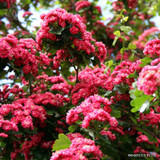 Crataegus Paul's Scarlet - Hawthorn