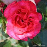 Dizzy Heights - Climbing Rose