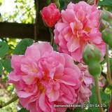 Dorothy Perkins - Climbing Rose