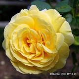 Dreaming Spires - Climbing Rose