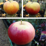 Family Apple 'Katy, James Grieve, Cox' 2/3yr tree on MM106 rootstock