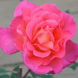 Galway Bay - Climbing Rose