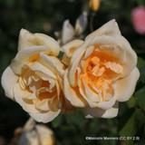 Lady Hillingdon - Climbing Rose
