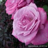 Lavender Lassie - Climbing Rose