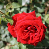 Love Knot - Climbing Rose