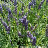 Munstead  Lavender - 2 Litre