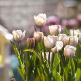Tulip 'Gwen' -100 or 250 Bulbs
