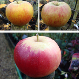 Family Apple 'Katy, Bramley, Cox' 2/3yr tree on MM106 rootstock