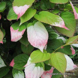 Actinidia kolomikta plant in 4ltr pot