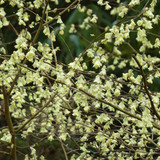 Corylopsis pauciflora plant in 4ltr pot.
