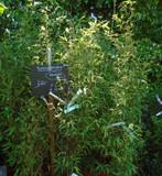 Phyllostachys nigra (black bamboo)