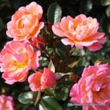 Masquerade - Climbing Rose