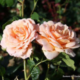 Schoolgirl - Climbing Rose