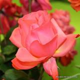 Superstar - Climbing Rose