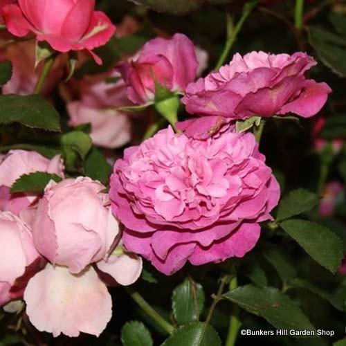 Baroness Prevost - Damask Rose