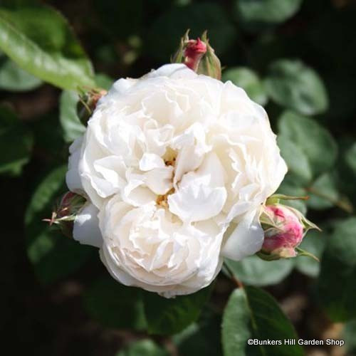 Blanche Moreau Rose
