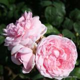 Compte De Chambord - Shrub Rose