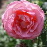 Conrad Ferdinand Meyer - Shrub Rose