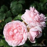 Eglantyne - David Austin Hybrid Musk Shrub Rose