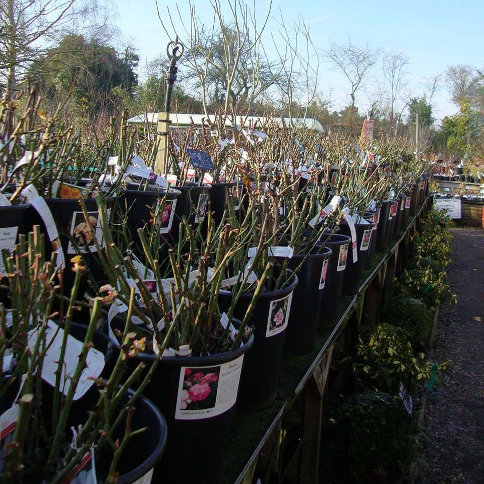View of bareroot roses in the nursery