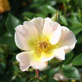 Fruhlingsgold - Shrub rose